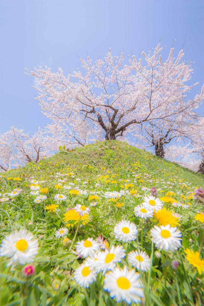 五稜郭桜の写真